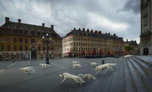 L'une des photographies de l'artiste : le lâché des « loups » - en réalité ce sont des Bergers suisses – devant l'opéra de Lille